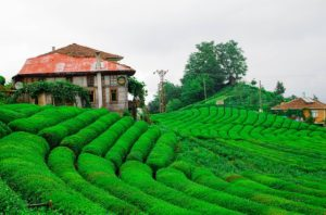 Rize Tea, Turkey